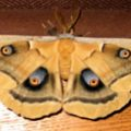 antheraea_oculea_mom