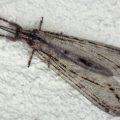 antlion_florida