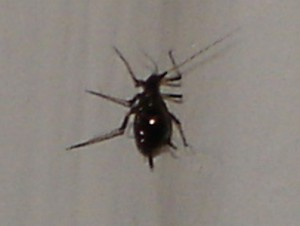 aphids in the house did they come in with the tree what s that bug