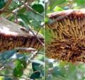 Brazilian Nocturnal Wasps:  genus Apoica