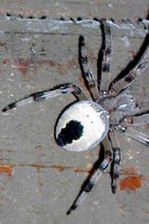 Spider Crab Size Alaskan Orb Weaver - W...