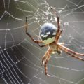 araneidae_hawaii_adam