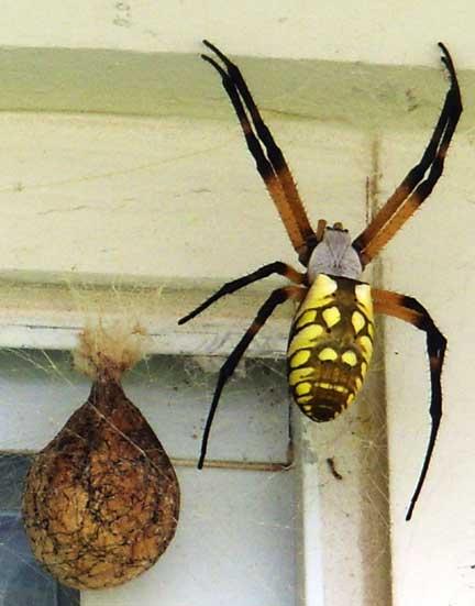 Yellow garden spider what 39 s that bug for Garden spider egg sac