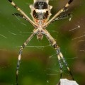 argiope_stink_bug_brazil_jay