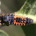asian_lady_beetle_larva_eats_native_don