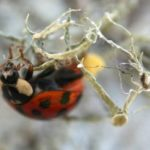 asian_lady_beetle_ovipositing_brian