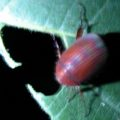 asiatic_garden_beetle_will2