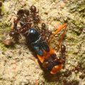 assassin_ant_foodchain_trevor_australia
