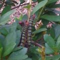 azalea_caterpillars_carolyn