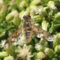 baccharis_wasps_20121014_0049_bee_fly