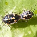 bagrada_hilaris_mating_jenn