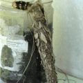 bagworm_new_guinea_sharon
