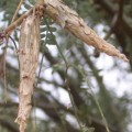 bagworms_mesquite