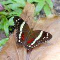 banded_peacock_costa_rica_paula