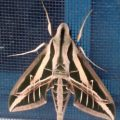 banded_sphinx_holly