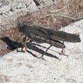 bandwinged_grasshopper_kimberly
