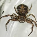 bark_crab_spider_nat