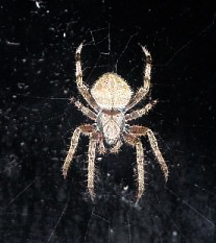 Barn Spider Common Orbweaver What S That Bug