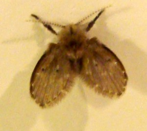 Bathroom Fly from Portugal - What's That Bug?