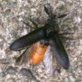 beetle_bearlo
