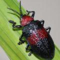 beetle_brazil_todd_1