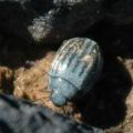 beetle_canary_islands_