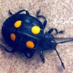 beetle_singapore_shirlynn