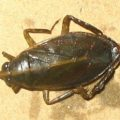 belostoma_argentina_fred