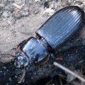 bess_beetle_australia_jeff