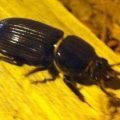 bess_beetle_christina