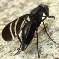 black_onion_fly_swarner