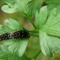 black_swallowtail_cat_2instar_joseph