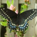 black_swallowtail_mary