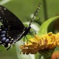 black_swallowtail_mj