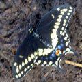 black_swallowtail_rick