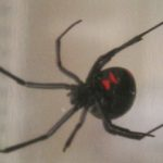 black_widow_amber