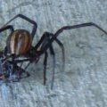 black_widow_cannibalism