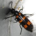 blister_beetle_croatia