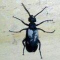 blister_beetle_isaac