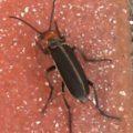 blister_beetle_joanie