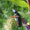 blister_beetle_linda
