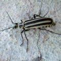 blister_beetle_marci