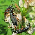 blister_beetles_maine