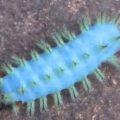 blue_caterpillar_tanzania_sandra