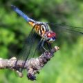 blue_dasher_female_christine