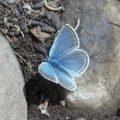 blue_gentry