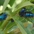 blue_milkweed_beetles_mating_dak