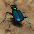 blue_tiger_beetle_texas