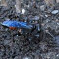 blue_wasp_tenesee_bob