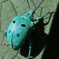blue_weevil_brazil_brutamonte_2